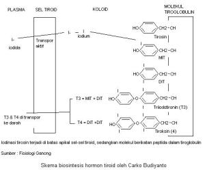 skema biosintesis hormon tiroid
